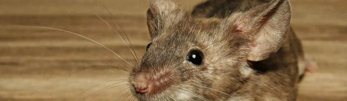 Eradicating mice from your premises