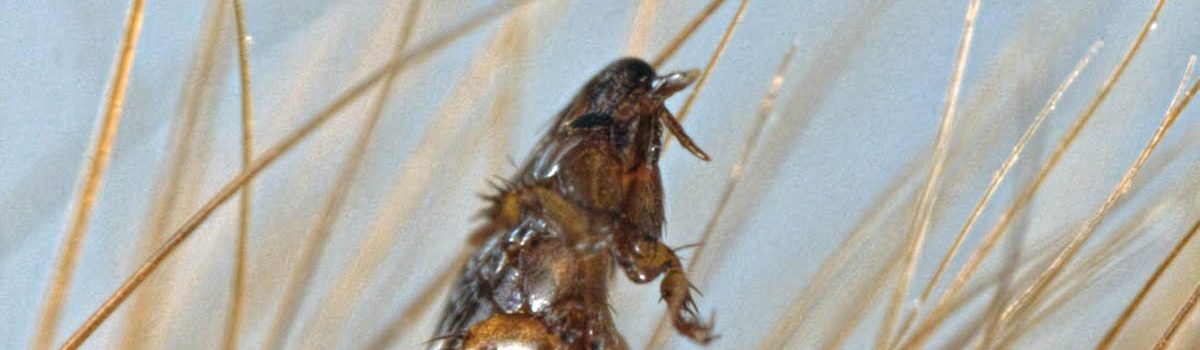 Eradicating Fleas from your premises